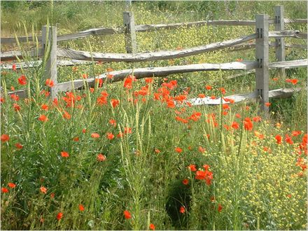 Eco Poppies and Fence